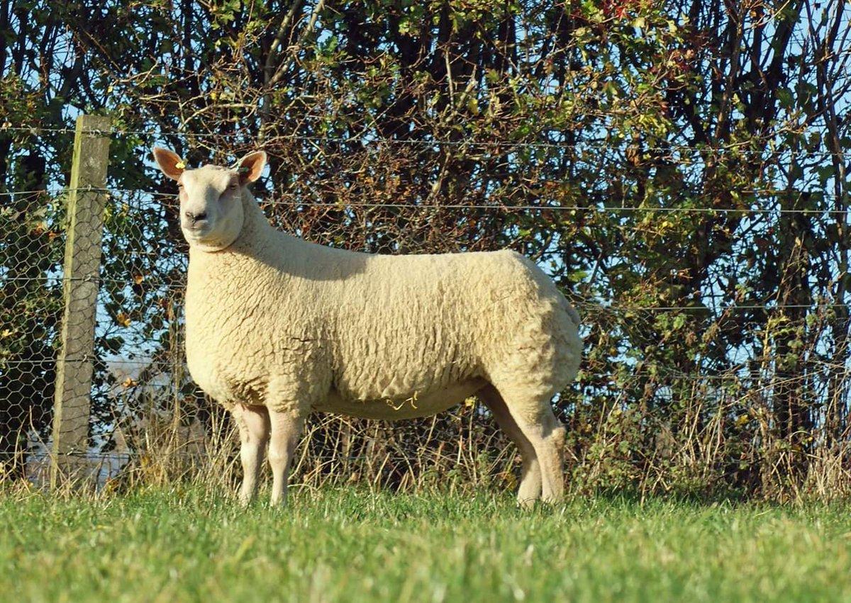 Logie Durno Sheep on Twitter: