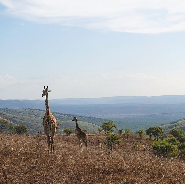 Just an afternoon drive in @AkageraPark outside #kigali. I was annoyed I didn't have a camera with a lens that could get closer to the animals, but now I kind of like getting to show them as they were, blending in like slow moving high grass through the … https://t.co/m0TI0JqbpX