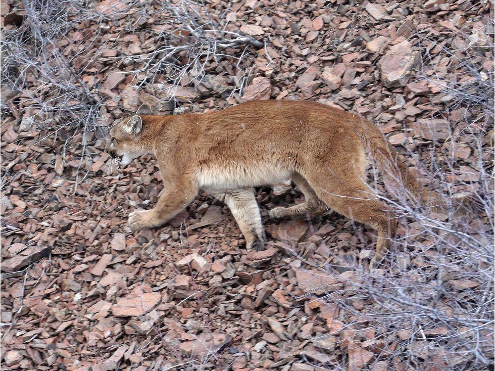 Edmonton cougar