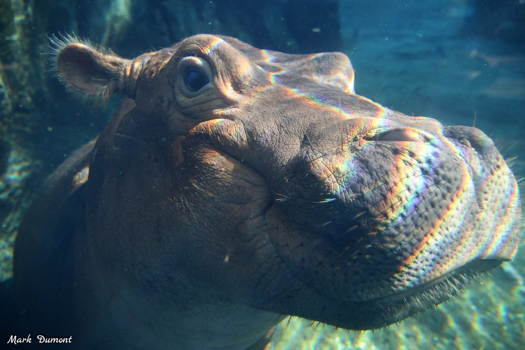 """Today is the day! See the premiere of """"Saving Fiona: The Story of the World's Most Famous Hippo,"""" a new Dreamscape documentary narrated by Thane Maynard from 11:30am-12pm at Books by the Banks! Stick around and hell be signing copies of his book until 2! #TeamFiona"""