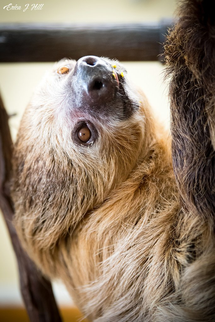 Happy #InternationalSlothDay! Read more about Moe the sloth and his winter plans: ow.ly/GreC30mhPbH
