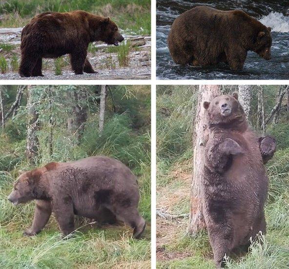 Amerikaans wildreservaat organiseert Fat Bear-wedstrijd