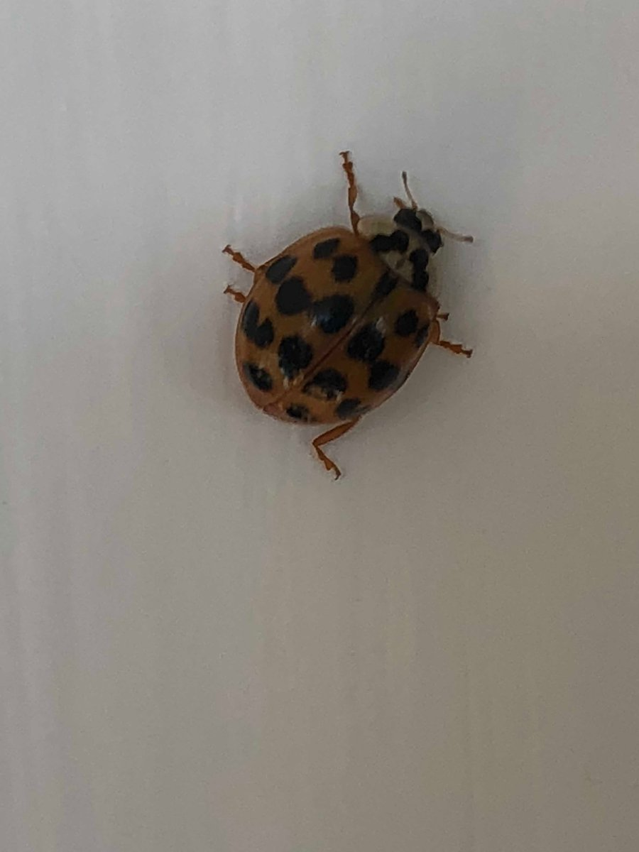 """Ladybirds Invade Limpsfield: Holly Mackay On Twitter: """"I Am Invaded By Ladybirds"""