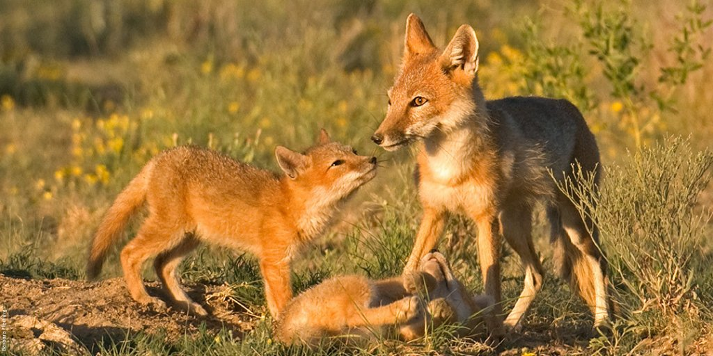 Per an @EPA report, the Renewable Fuel Standard was responsible for destruction of habitat for swift foxes, waterfowl, & pheasants. Yet the Administration wants to expand the sale of higher ethanol blends. Read about it here: bit.ly/2EbGtKl