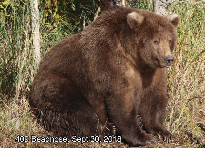 And the winner of Fat Bear Week @KatmaiNPS is 409 Beadnose! All hail the Queen �� Learn more: https://t.co/GdJNkPEq49 https://t.co/y1lSJrjPwg