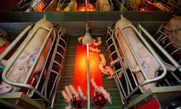 Haz click para aprender más sobre la triste vida de los animales de granja
