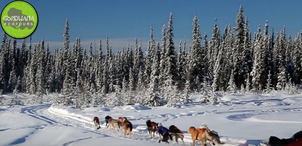 Dog-sledding is one of the fast-paced excursions during the Alaskan Ecotour! You don&#39;t want to miss this! Read about what you will want to pack to prepare!  -----  https:// bit.ly/2GuHAFK  &nbsp;   #dogtravel #ecotour #adventure<br>http://pic.twitter.com/tHM88EcZyp