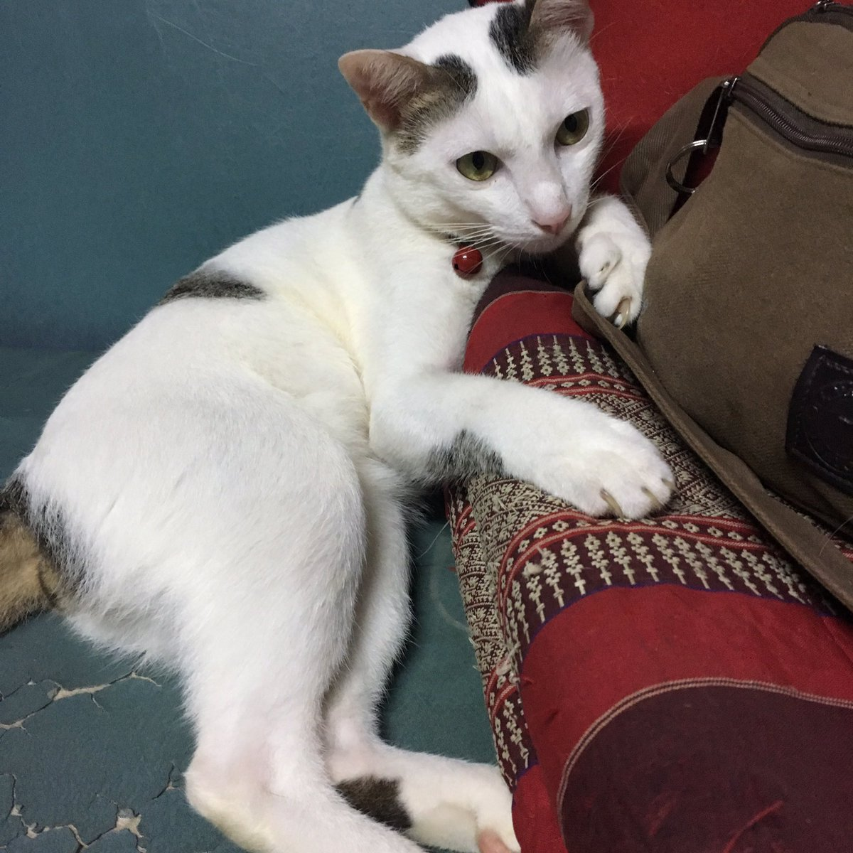 "fern」 على تويتر: ""นี่เป็นอดีตแมวหาบ้านที่โดนคนจองเท  ตอนแรกแย่งกันจะเป็นจะตายเพราะคิดว่าเป็นแมวเก้าแต้ม (เสิ่นเจิ้น) น่ะ 😂  แต่น้องก็แสดงออกมาตั้งแต่ต้นว่าจะไม่ออกจากบ้านนี้ไปไหน …ก็อยู่ด้วยกันล่ะนะ  เด็กดื้อ #แมวเด็กสู้ชีวิต #แมวเป็นสัตว์มุ้งมิ้ง ..."