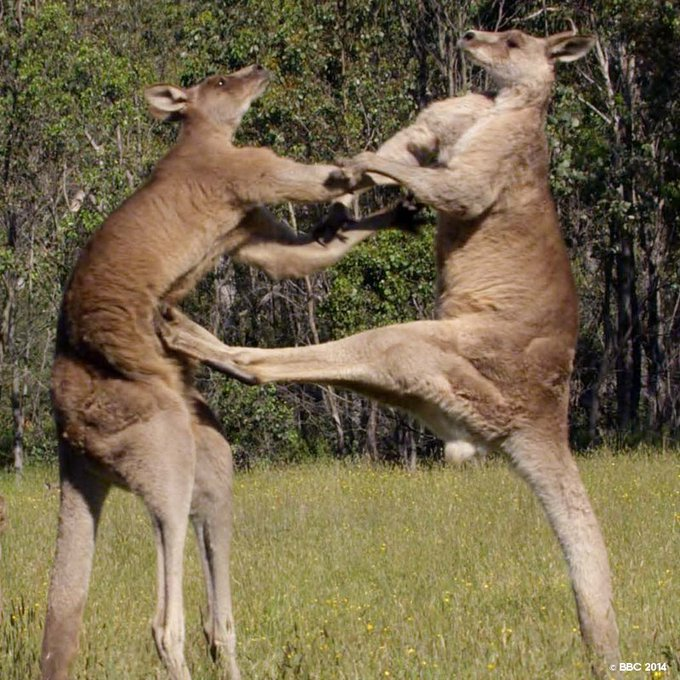 Two large Male Grey Kangaroos fight in a meadow in Australia. Using their tails as props, they use their muscular back legs and sharp claws as formidable weapons against their opponents. Watch 'Life Story', premieres tomorrow every night at 8 PM and #FeelAlive Photo
