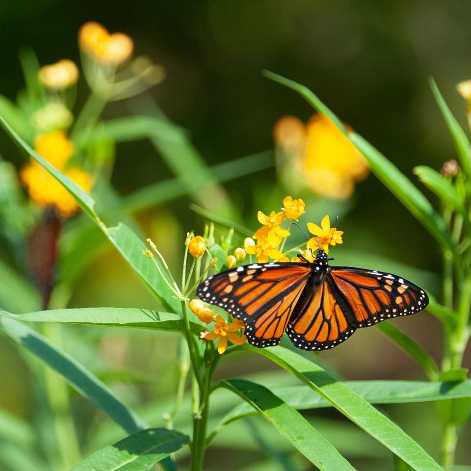 The Zoo is aflutter with migrating monarchs on their way to Mexico. Look for them all around the zoo but they especially like the Mexican butterfly weed across from the World of the Insect building.