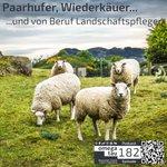 Image for the Tweet beginning: Trotz vieler Schafe nicht ermüdend: