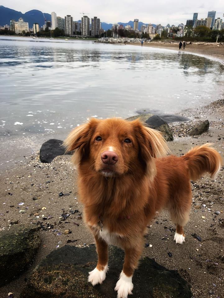 MISSING DOG: Lost Duck Tolling Retriever in Granville Island area. Last seen on 7th/Pine. Got spooked and ran from Urban Puppy Daycare. Her name is Daisy and she will come when called to. Call 778-875-6425 if seen. <br>http://pic.twitter.com/fgYv9ACGDw