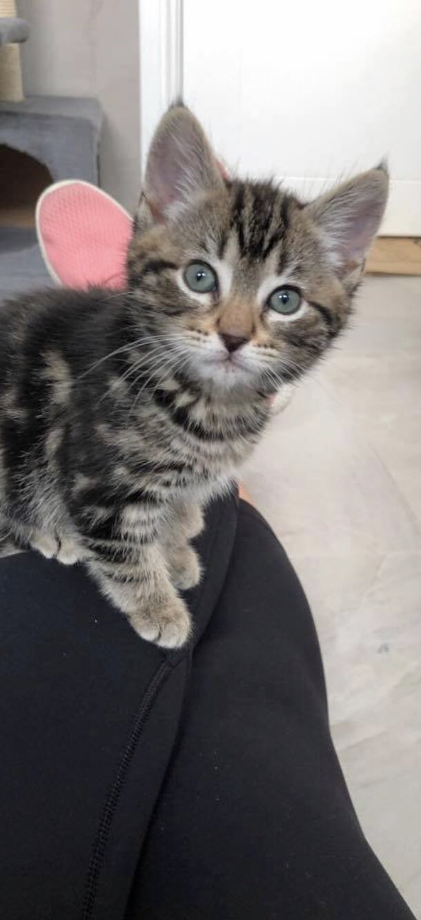 Kitten Inn On Twitter We Will Just Have 2 Kittens And One 10 Month Old Black Mumma Up For Adoption Tomorrow The Dark Tabby Is A Female And Light Grey Tabby Is
