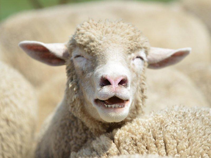 Овца смешные картинки, мультиков дисней