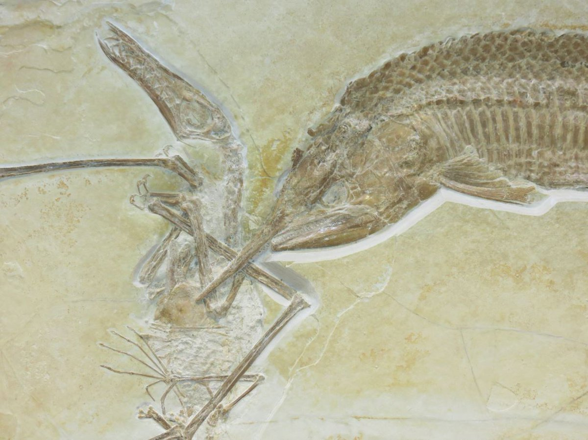 Oooh I'm approaching a milestone 5k followers. Time to bring out the big guns!  This is one of my all-time favourite fossils. The ANGRIEST fish you'll ever see. It had snagged a pterosaur [food = yay] but then tangled together, sunk into the abyss &amp; died – together! #FossilFriday <br>http://pic.twitter.com/HzFzRBJSSB