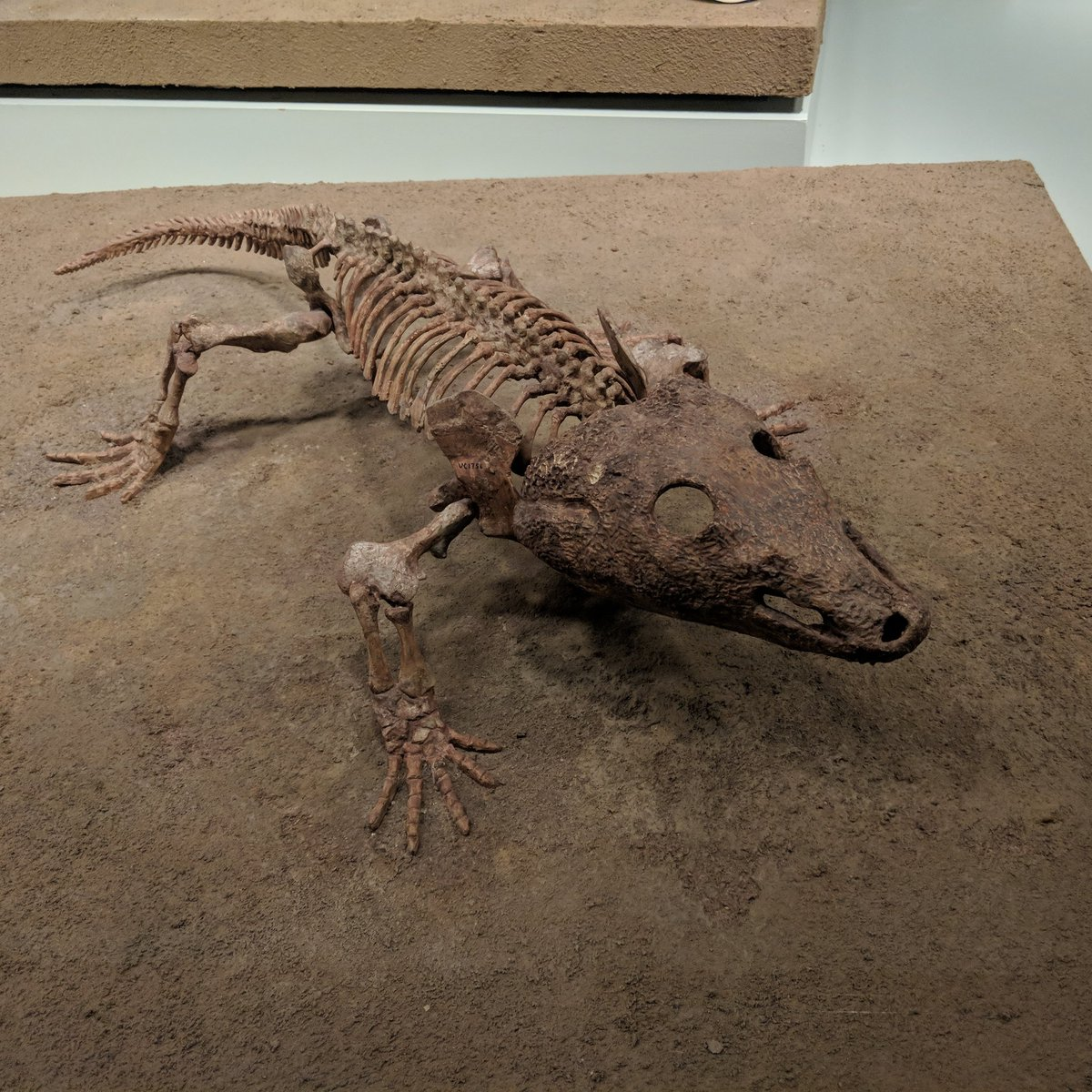 Temnospondyls were poised to be some of the dominant terrestrial vertebrates. If only they could&#39;ve gotten over that whole not having an amnion thing... Acheloma @FieldMuseum #FossilFriday #temnospondyl<br>http://pic.twitter.com/lc7WAp1Ey8
