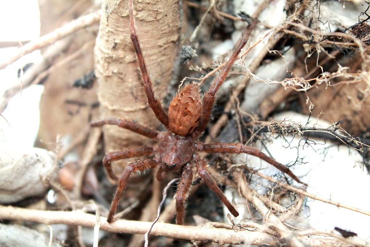 N C Coastal Reserve On Twitter The Permudaisland Reserve Provides Great Habitat For This Fishing Spider Which Was Found In The Root Ball Of A Toppled Tree At The Waters Edge The Leg
