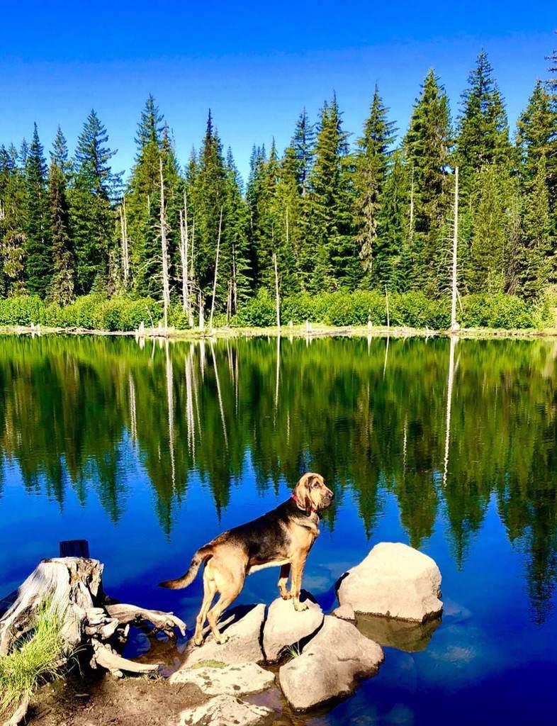 Best picture of my Bloodhound doggo, taken near Mt. Adams. <br>http://pic.twitter.com/qHC28dOuIz