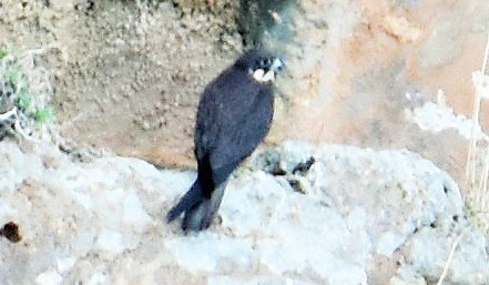 Long range shot of an Eleonora&#39;s falcon on the sea cliffs of #Mallorca today - an amazing #bird that breeds in late summer to coincide with the passage of migrant song #birds to prey upon<br>http://pic.twitter.com/g7y7QTw4Pd