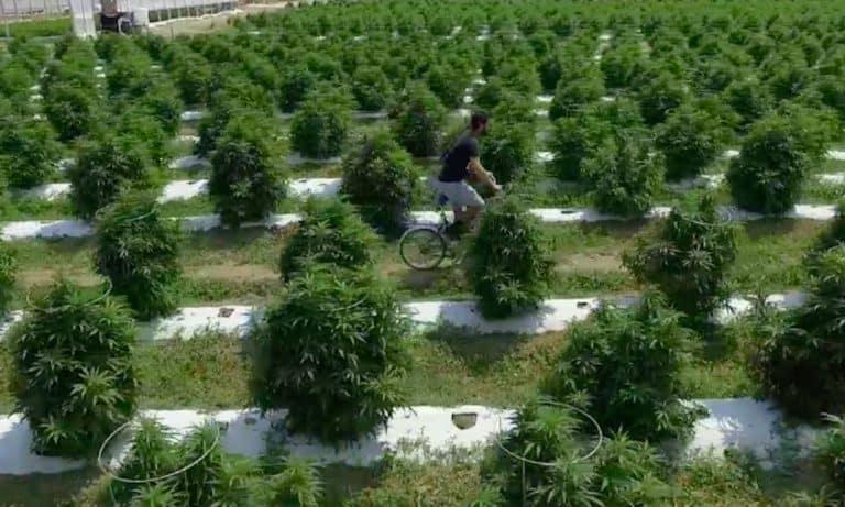 Creational Cannabis Farm S1E5 Honeydew Farms - Amnet