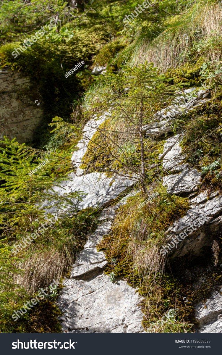 Alex White on Twitter: Sosny na skale w Dolinie Kościeliskiej  #góry #przyroda #fotografia #flora #drzewa #natura #sosna