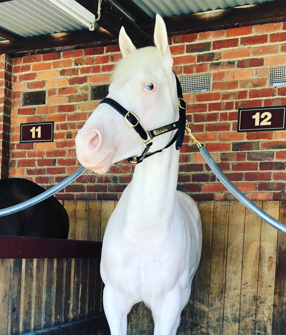 Utzon beautiful white filly at Caulfield races today 😀❤️❤️ Photo
