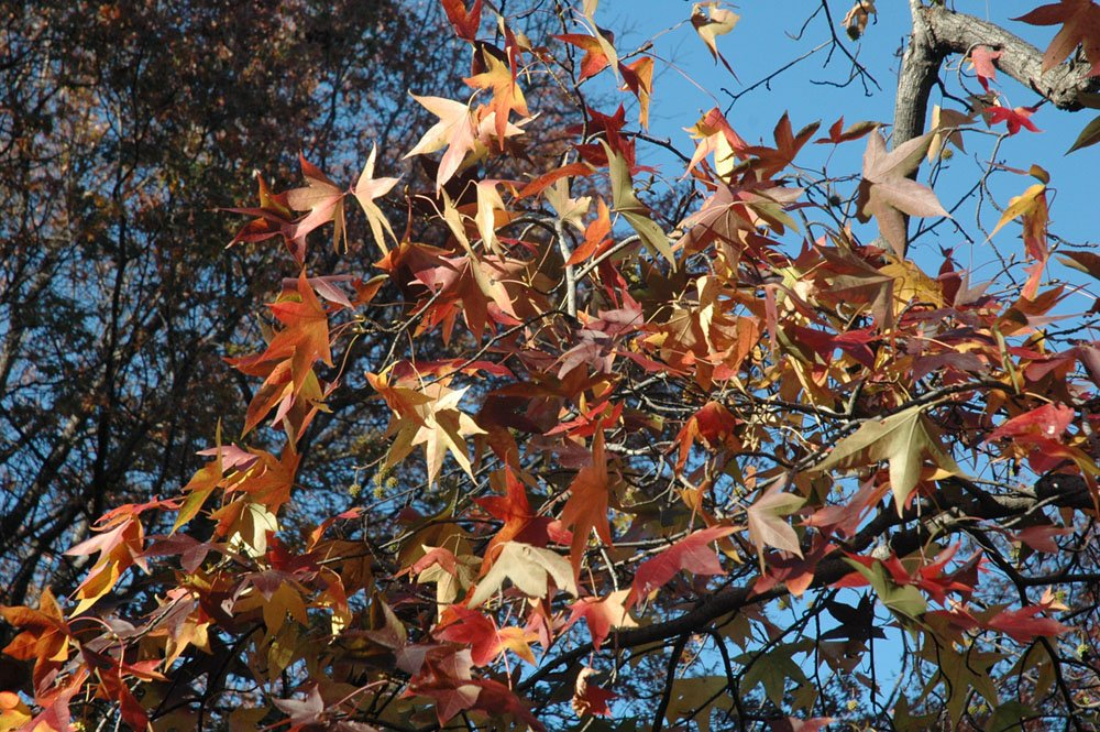 The Star Shaped Leaves On Sweetgum Trees Can Turn Purple Orange Red Or Even Pink In Fall Learn More About Central Park S Most Colorful