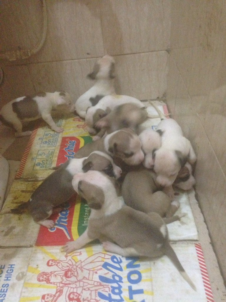 Ighalo American pitbull terrier puppies pure breed for sale. Dm if interested. Help me retweet my buyers might be on ur TL <br>http://pic.twitter.com/PRicp8ZEoN