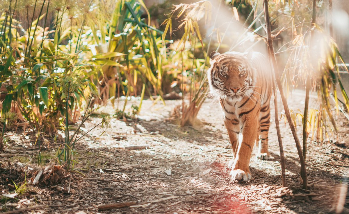Tigers are territorial and generally solitary, but in the same time social animals. They usually avoid each other, but, they are not always territorial and relationships between individuals can be complex. #tiger #tigerfacts #StopPoachingNow