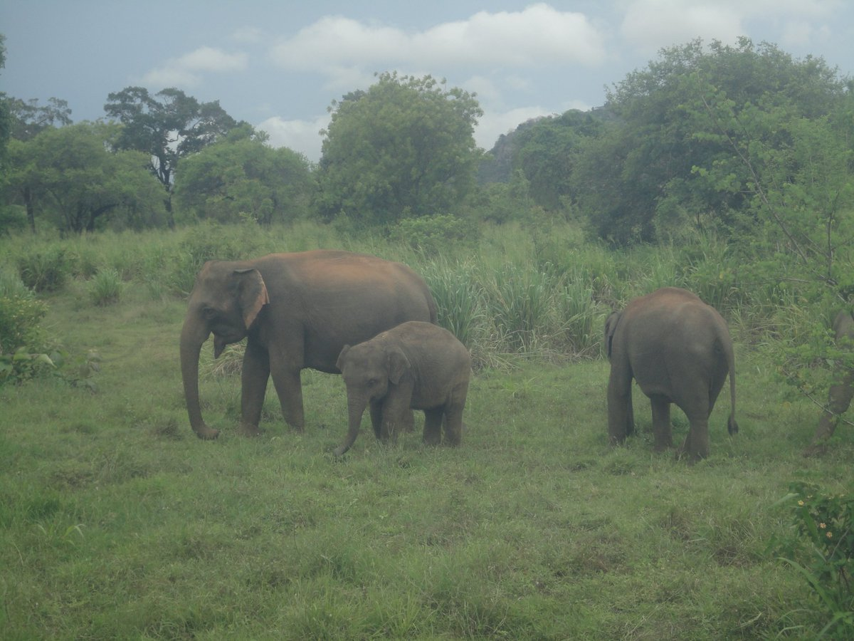 Tragedy ! Two Elephants  died after hitting a Train in #LKA Kekirawa area and  deaths toll rise up to 10 within a month. Last month 9 elephants died after got stuck in mud stream in Pollonnaruwa #SriLanka #SriLankanElephants #AsianElephant @MaithripalaS @RW_UNP @otaradelpic.twitter.com/JNkRHiW9eu