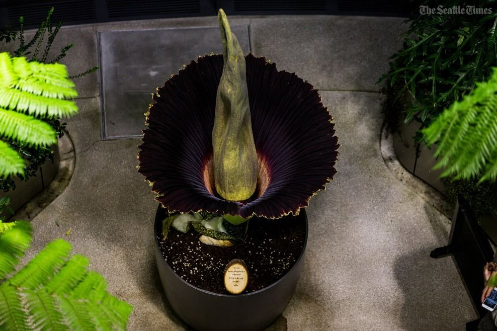 The corpse flower in the Amazon Speres bloomed last night, and may not bloom again for another 10 years. And yes, it smelled terrible. https://t.co/PRV52XyouY