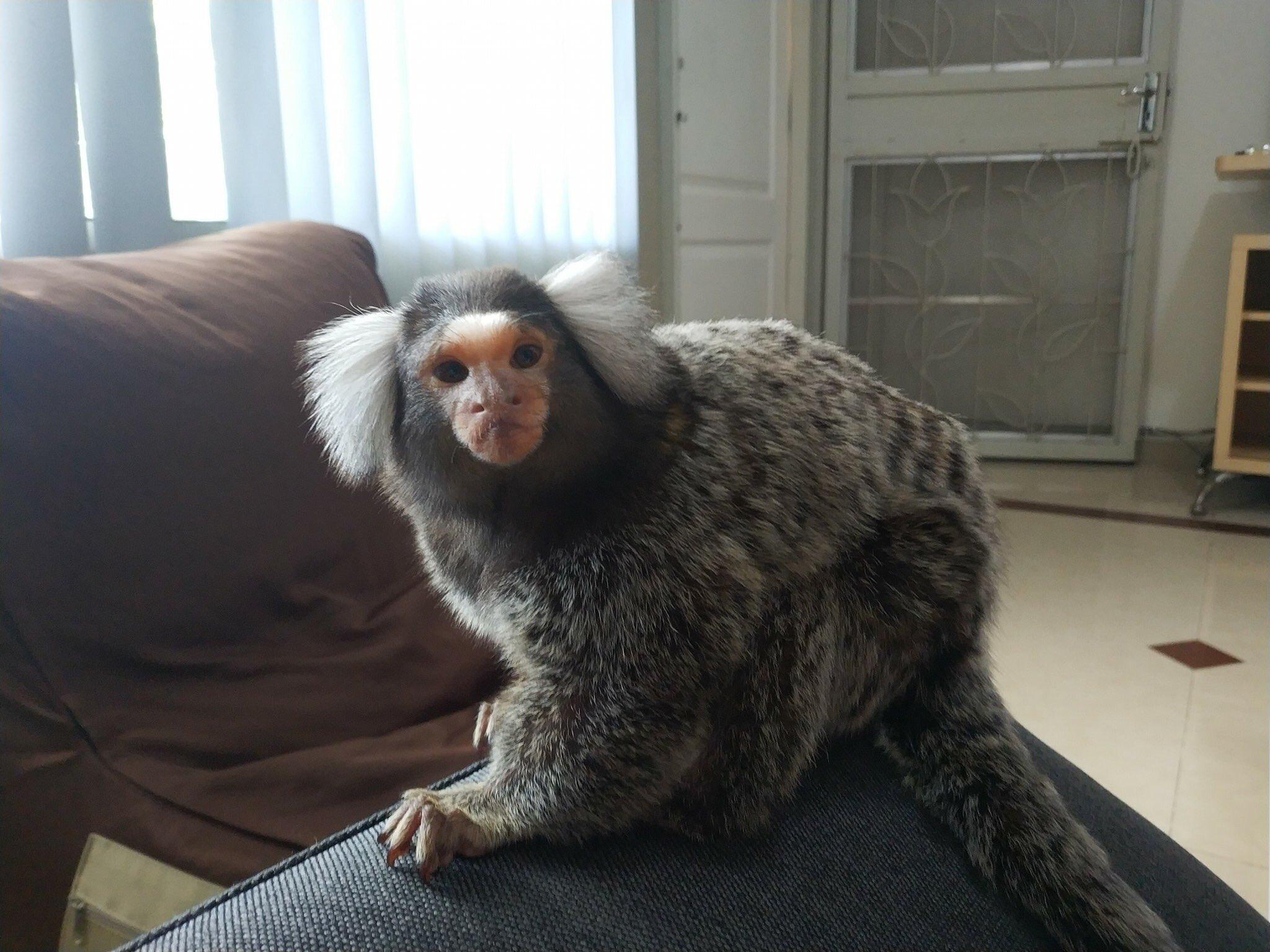 "Twitter पर ·͜·♡ lll: ""ลิงมาโมเสทหลงเข้ามาในบ้าน พิกัด ศุภาลัย พาร์ควิลล 2  พหลโยธิน48 #ตามหาเจ้าของ #ทวิตดีคนรีน้อย #ลิงมาโมเสท #ลิงหาย… """