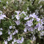 I'm entranced by the gorgeous flowers and smell of the wild rosemary covering the island! So lovely 😊 Rosmarinus officinalis, Lamiaceae  . #explore #expeditionegadi #aegadianislands #naturesbeauty #flowersofinstagram #rosemary