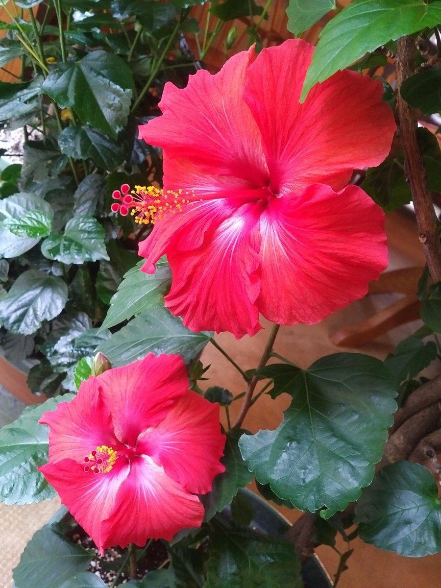 Sylvia Jones On Twitter Looks Like Our Hibiscus Plants Are Pretty
