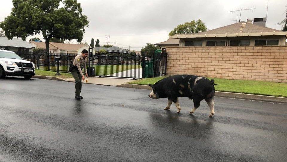 California sheriff's deputies use Doritos to round up loose pig bit.ly/2IUPKVJ
