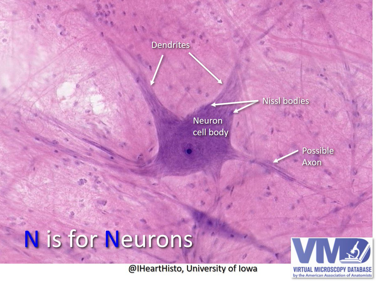 Dr Lisa Lee On Twitter N Is For Neurons Cells W Complex Morphologies Sizes Locations Typical Motor Neurons Have Many Dendrites 4 Receiving Signals Large Cell Body W Nissl Bodies 4 These granules are of rough endoplasmic reticulum with rosettes of free ribosomes. dr lisa lee on twitter n is for