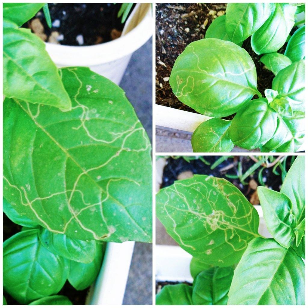 test ツイッターメディア - 9月5日に種を蒔いたバジルがハモグリバエに人気。 脇芽出てるし割りとすぐ切り落としてるけど、葉っぱかじられるより気持ち悪いわ(´・ω・`) 黒いポットは10月に蒔いたキャンドゥの菜園キットのバジル。このキットの土、かなり臭う… #バジル #秋植え #ハモグリバエ #キャンドゥ #家庭菜園 #害虫 https://t.co/gxK1uSL3p7