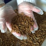 Image for the Tweet beginning: Some of our fresh #edibleinsects