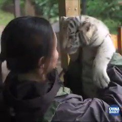 Watch three white Bengal #tiger cubs charming tourists at Yunnan Wildlife Zoo, days into making their first public appearance.