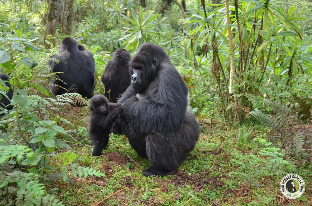 """A new study based on research at the Dian Fossey Gorilla Fund in Rwanda and just published in """"Scientific Reports"""" suggests that male mountain gorillas who are nice to infants have greater success in siring more infants. More about this fascinating study: dfgfi.org/2RNPr3c"""