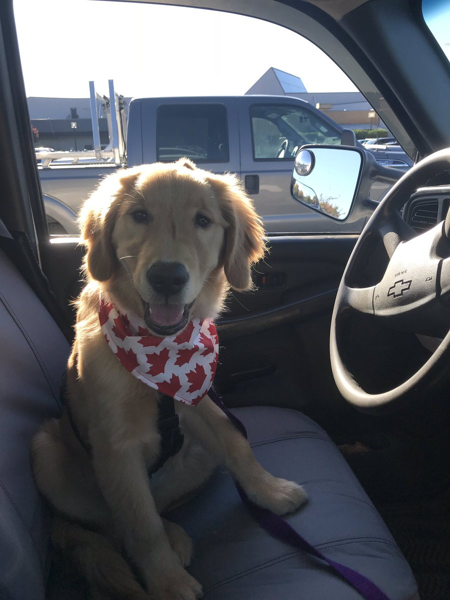Helping dad dwive his truck. My paws don't weach the gas pedal yet, tho. #DogsOfTwitter #GoldenRetriever #PuppyLove <br>http://pic.twitter.com/6ZXOJcZukM