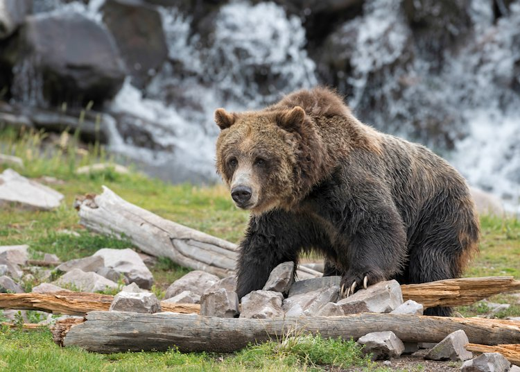 #Love #Animals #Bears #Anipals   💚🐻 Judge RESTORES Yellowstone Grizzly Bears' Endangered Species Status! https://t.co/FlnxtjNtQJ https://t.co/CgPXePwPD7