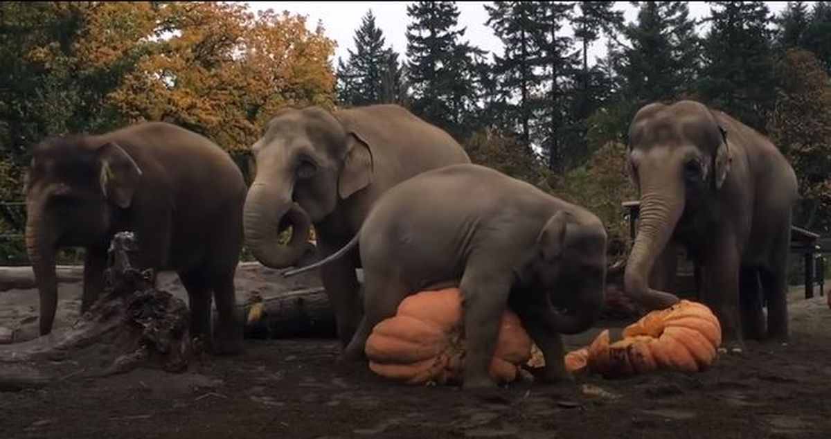 VIDEO: How much fun can elephants have with giant pumpkins? Just watch >>https://t.co/oTKvhNbCuI