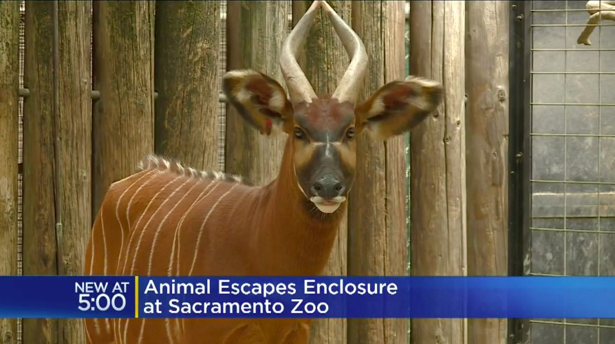 Baby antelope named Taylor Swift escapes Sacto zoo pen https://t.co/Ew46SxRbl1