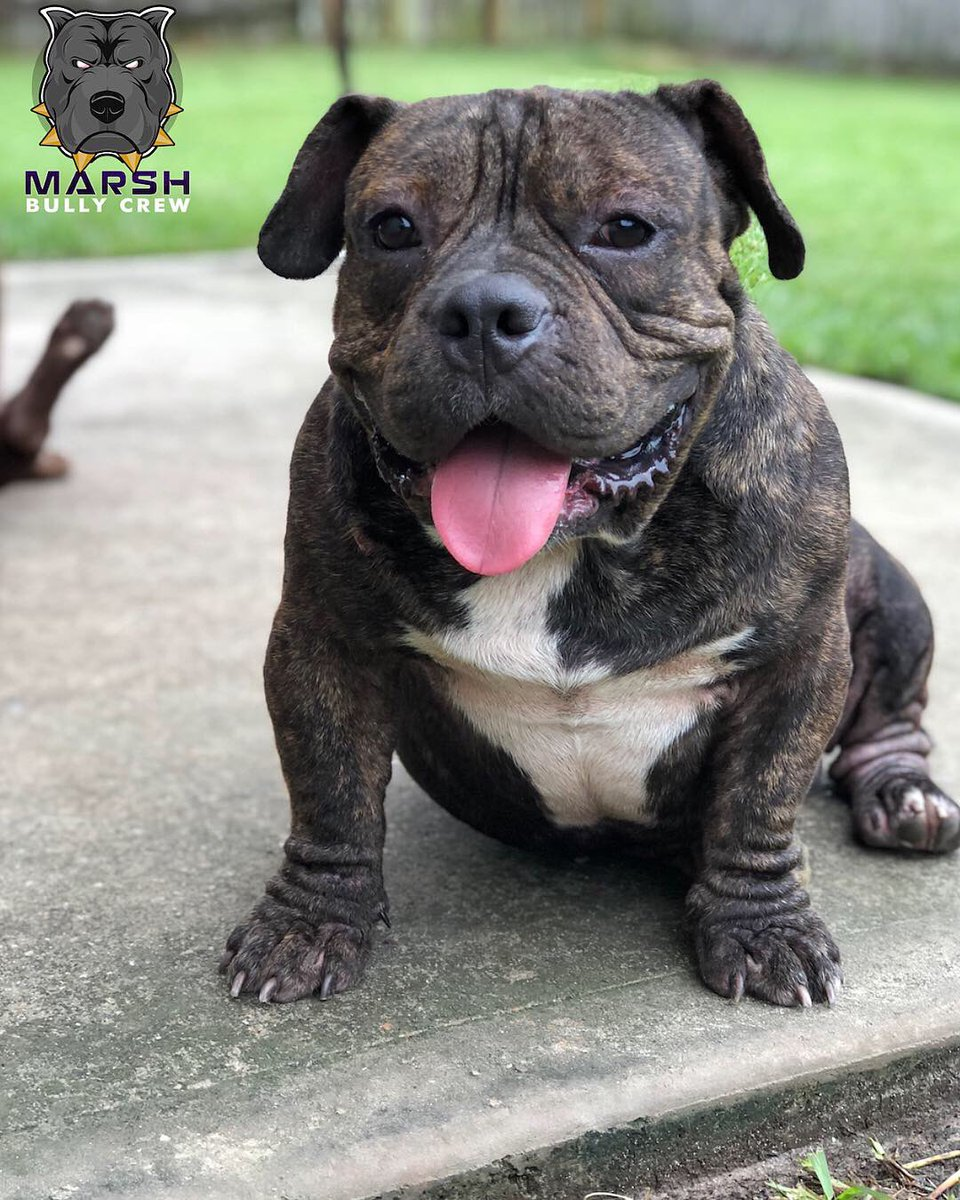 MBCK FOOLIBOY (OPEN FOR STUD) #marshbullycrew #bully #5xmiagi #duecebigalow #miagiblood #thickbone #pocketbully #pocketbullies #bullies #texasbullies #dontbullymybreed #americanbully #americanbullies #exoticbullies  #bullybreed #microbully #htx #openforstudsoon #UKCpic.twitter.com/EoGdjEOdLa