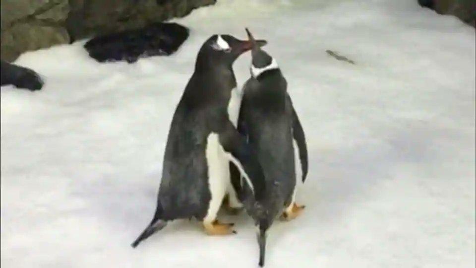 Male penguin couple build nest, foster an egg at Sydney aquarium https://t.co/LAzaR5rbvb
