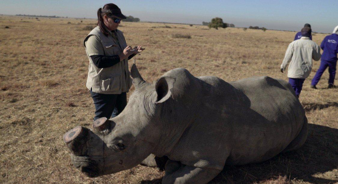 Comment le trafic de cornes de rhinocéros s'est transformé en crime mondial organisé https://t.co/3eBB7J6Ylm