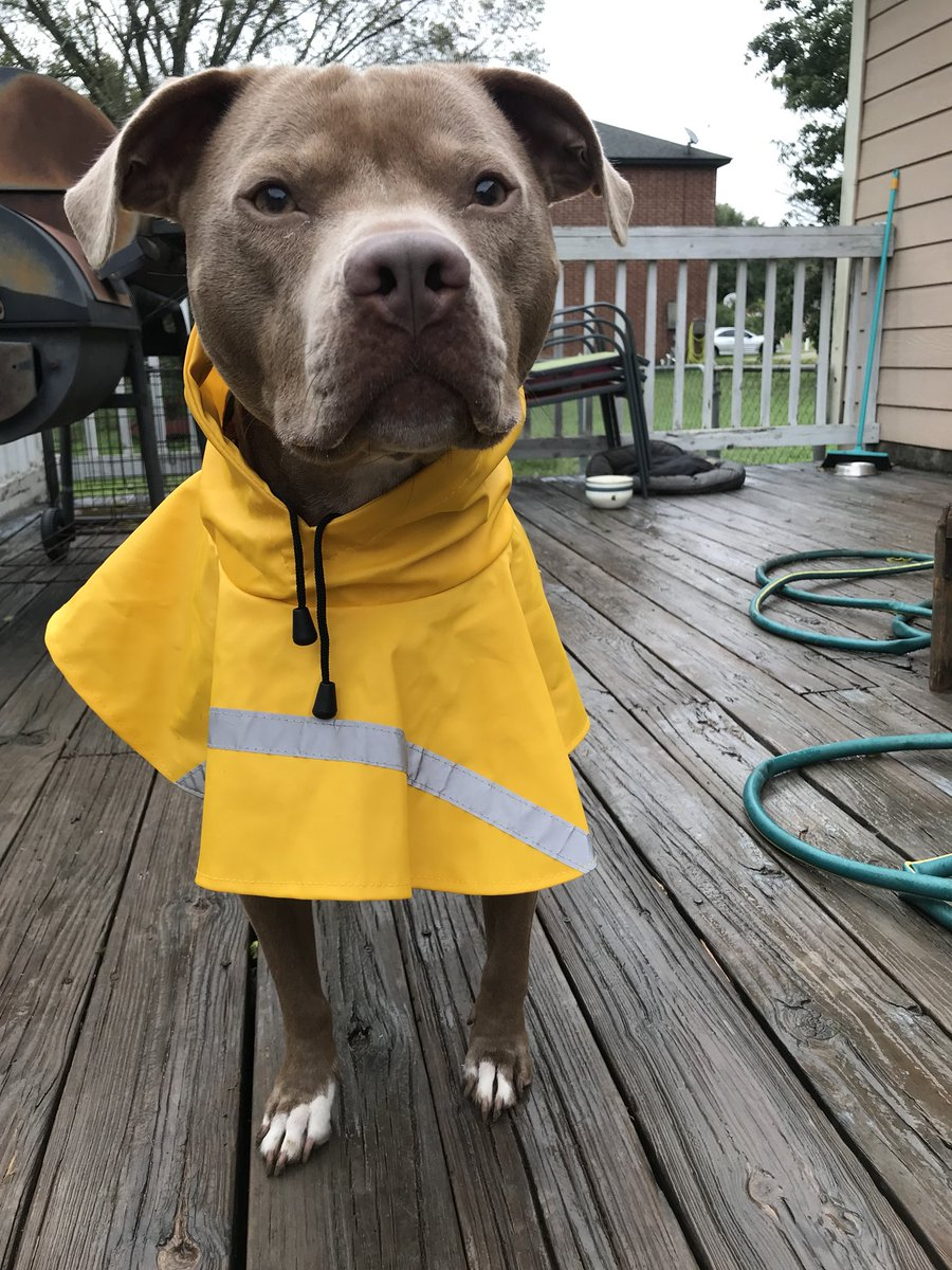 here's some pictures of my pitbull lilly in her raincoat <br>http://pic.twitter.com/A0zFFjmoHU