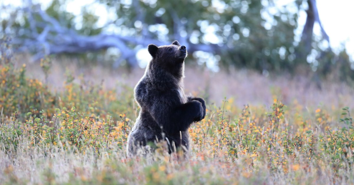 Grizzlies still need your help. Soon @USFWS could remove over 1,000 grizzlies in N. Montana from the Endangered Species list. But @MontanaFWP's draft plan to manage them is weak and inadequate. Bears deserve better, take action: https://t.co/mfpXlLJoWy