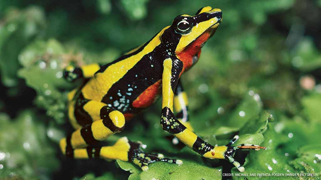 New research suggests certain frog species, like the harlequin frog, may have developed stronger defenses against a deadly fungal disease. Learn more: bit.ly/2PC0BGJ